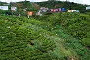 Les plantations de thé