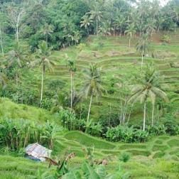 Les rizières de Tegallalang
